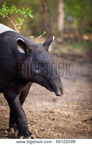 Malayan Tapir, also called Asian Tapir (Tapirus indicus)