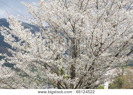 White Sakura Tree
