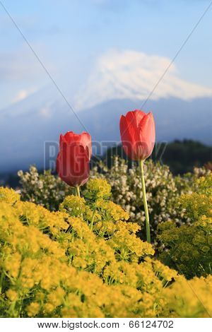 Tulip With Mount Fuji Background