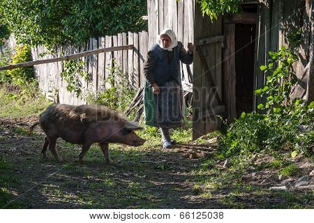 Unidentified old woman lets go its pig go home