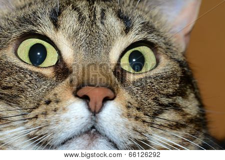 Egyptian Mau cat - amazed