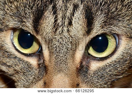 Egyptian Mau - evil eyes