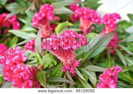 Pink Cockscomb In Garden