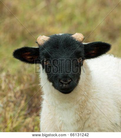 Black-faced Sheep Lamb