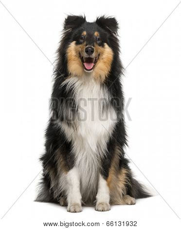Scotch Collie (8 months old)