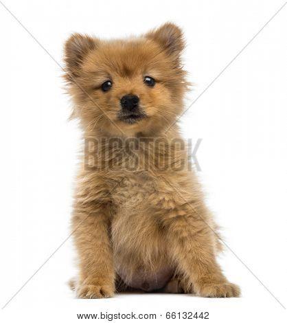 Spitz puppy (2 months old)