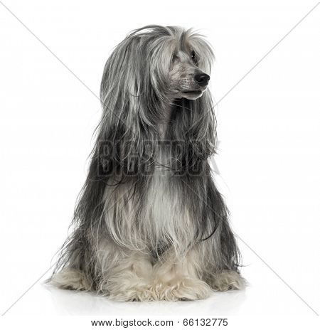 Powderpuff Chinese crested dog