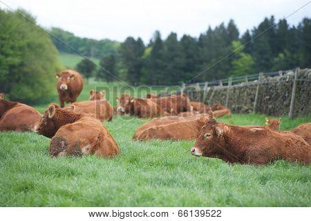 Cows sat in a field