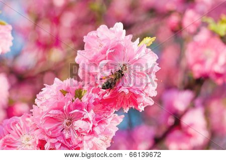 Bee On Sakura Flower