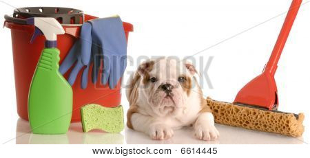 Bulldog Puppy With Cleaning Supplies