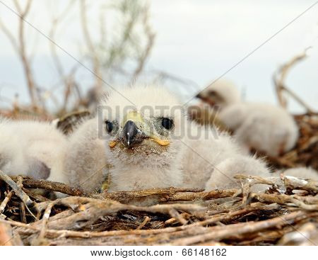Small Nestling Long Legged Buzzard
