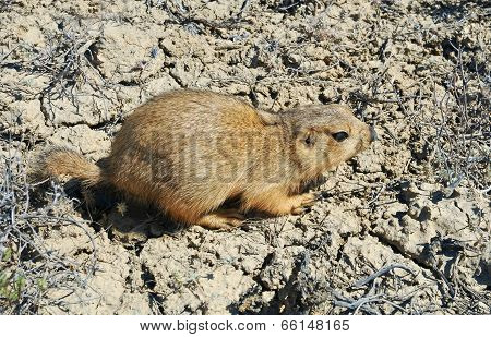 Yellow Ground Squirrel