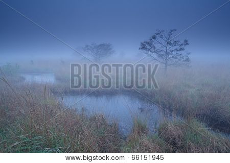 Pine Trees On Swamp In Dusk Mist