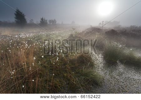Sunrise Over Misty Swamp With Cotton Grass