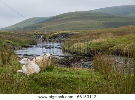 Sheep in Welsh landscape