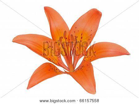 Wild Lily (lilium Pensylvanicum)