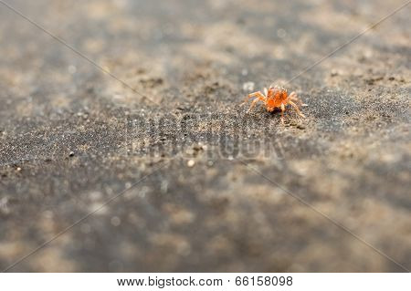Red Baby Spider