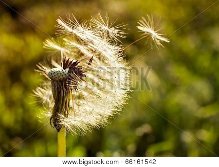 Dandelion Flying Close-up