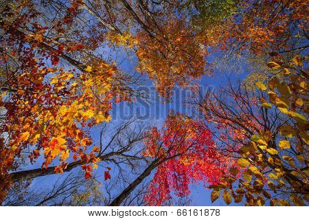Colorful autumn trees canopy in fall forest with blue sky from below. Algonquin Park, Ontario, Canada.