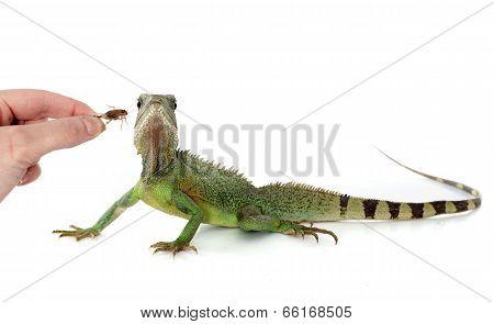 Chinese Water Dragon Eating