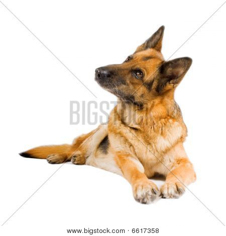 German Sheepdog Isolated Over White Background