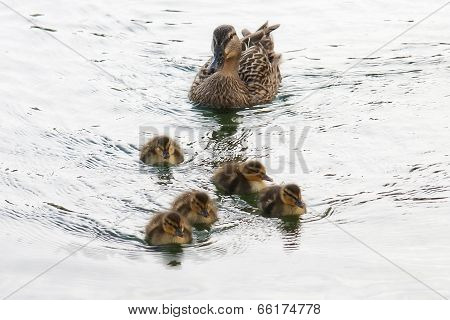 Mama Duck And Ducklings