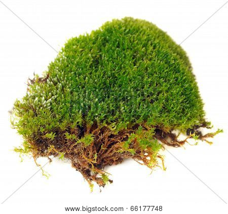 Clump Of Moss Close-up Isolated On White Background