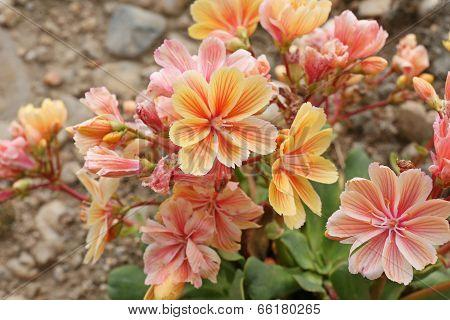 Opuntia Erinacea Utahensis
