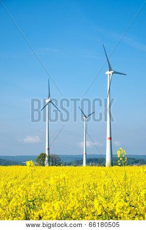 Windwheels and yellow rapeseed
