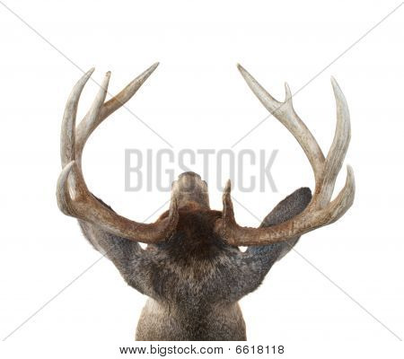 Whitetail Deer Buck Head From Above