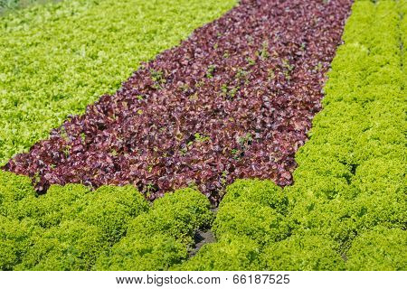 Organic Cultivation Of Various Lettuces And Endives