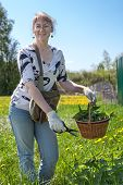 pic of nettle  - Mature woman gathering green nettle in the fiel at summer - JPG