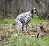 image of pooping  - german shorthaired pointer having a poop in the woods - JPG