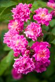 stock photo of climbing rose  - beautiful pink climbing rose on the garden - JPG