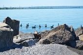 picture of skyway bridge  - A bunch of Canada goose on the lake Ontario with the skyway bridge