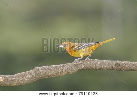 Northern Baltimore Oriole
