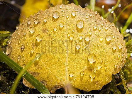 Raindrops On A Golden Aspen Leaf