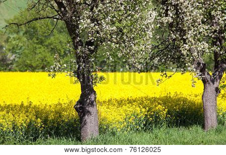Cherry Blossom And Rapeseed Field