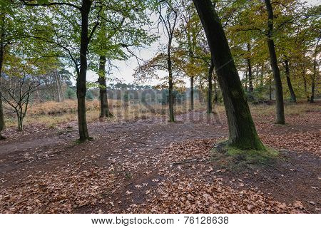 Oak Trees And Leaves In The Autumn Forest