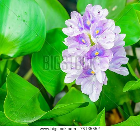 Beautiful Flower Of Water Hyacinth