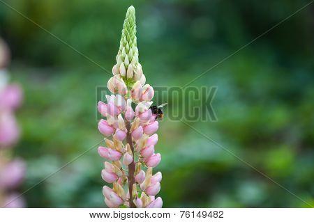 Flowering Lupinus Polyphyllus