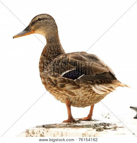 Isolated Mallard Duck Standing On A Boat