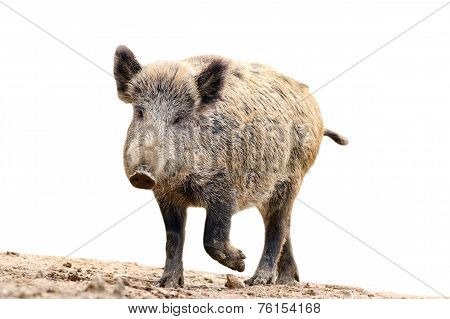 Isolated Wild Boar