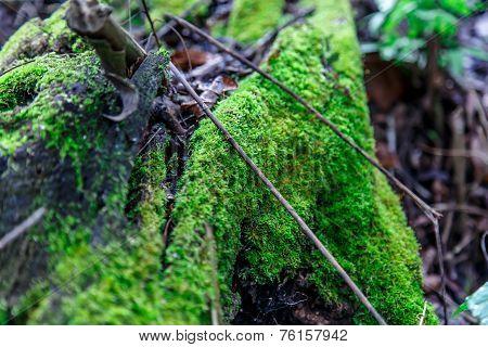 Green Moss From Nicaraguan Jungle