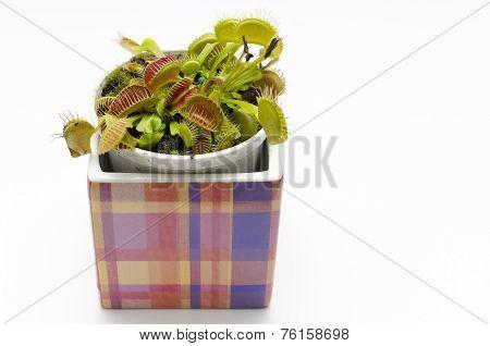 Venus Flytrap In A Square Pot