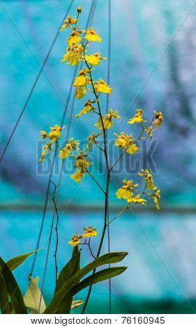 Dendrobium Lindleyi , Yellow Orchid