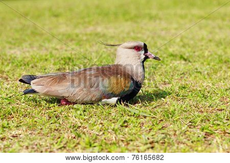 Bird Southern Lapwing (vanellus Chilensis) Sitting Resting On Grass