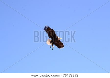 eagle flies