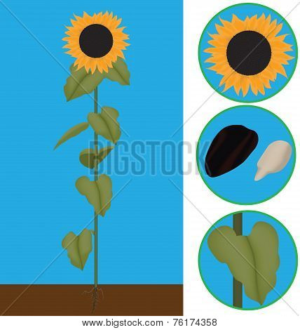 sunflower as a plant