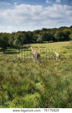 Giraffes Running If Field On Sunny Day Giraffa Camelopardalis